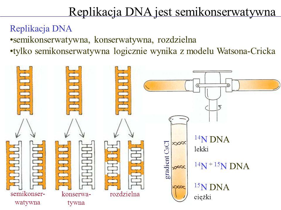 Replikacja DNA jest semikonserwatywna Replikacja DNA semikonserwatywna, konserwatywna, rozdzielna tylko semikonserwatywna logicznie wynika z modelu Watsona-Cricka semikonser- watywna konserwa- tywna rozdzielna 14 N DNA lekki 15 N DNA ciężki 14 N + 15 N DNA gradient CsCl