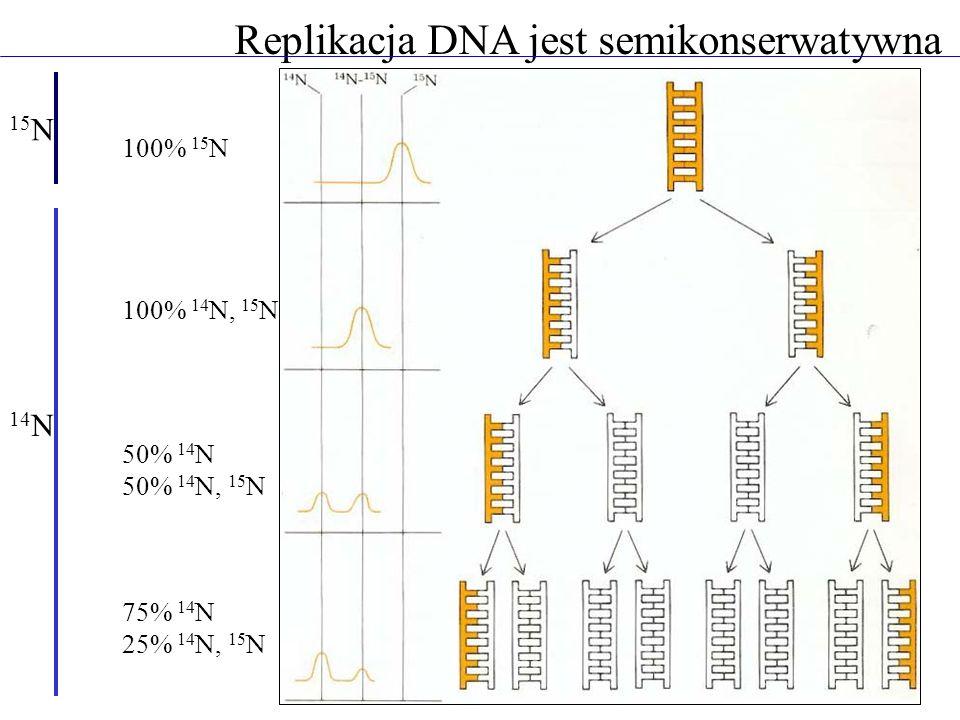 Replikacja DNA jest semikonserwatywna 100% 15 N 100% 14 N, 15 N 50% 14 N 50% 14 N, 15 N 75% 14 N 25% 14 N, 15 N 15 N 14 N