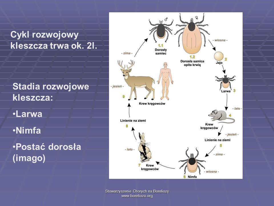 Stowarzyszenie Chorych na Boreliozę www.borelioza.org Stadia rozwojowe kleszcza: Larwa Nimfa Postać dorosła (imago) Cykl rozwojowy kleszcza trwa ok. 2