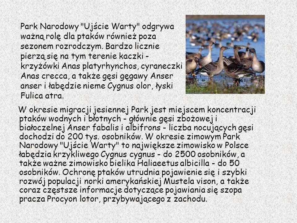 W okresie migracji jesiennej Park jest miejscem koncentracji ptaków wodnych i błotnych - głównie gęsi zbożowej i białoczelnej Anser fabalis i albifron