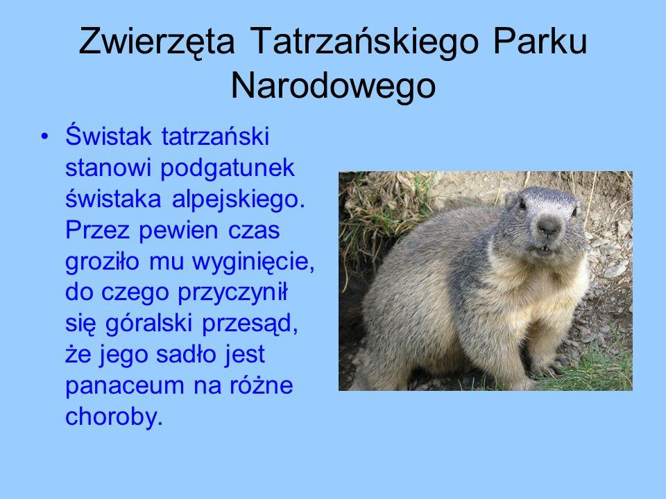 Zwierzęta Tatrzańskiego Parku Narodowego Świstak tatrzański stanowi podgatunek świstaka alpejskiego. Przez pewien czas groziło mu wyginięcie, do czego