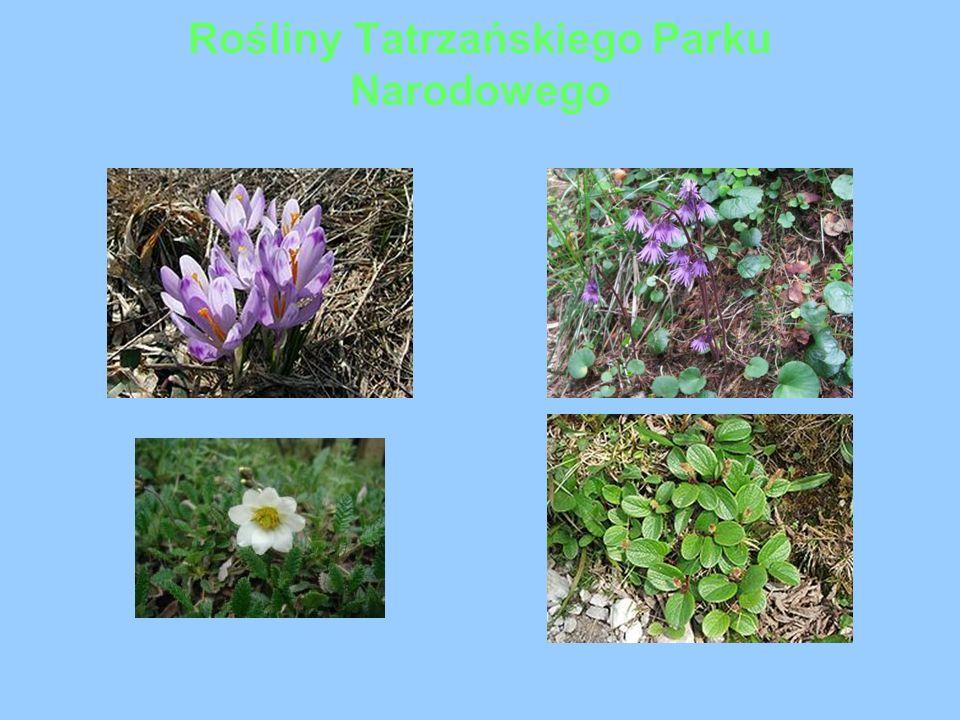 Nazwy Kwiatów 1.szafran spiski (krokus) 2.urdzik karpacki ( Soldanella carpatica), 3.dębik ośmiopłatkowy ( Dryas octopetala) 4.wierzba żyłkowana( Salix reticulata)