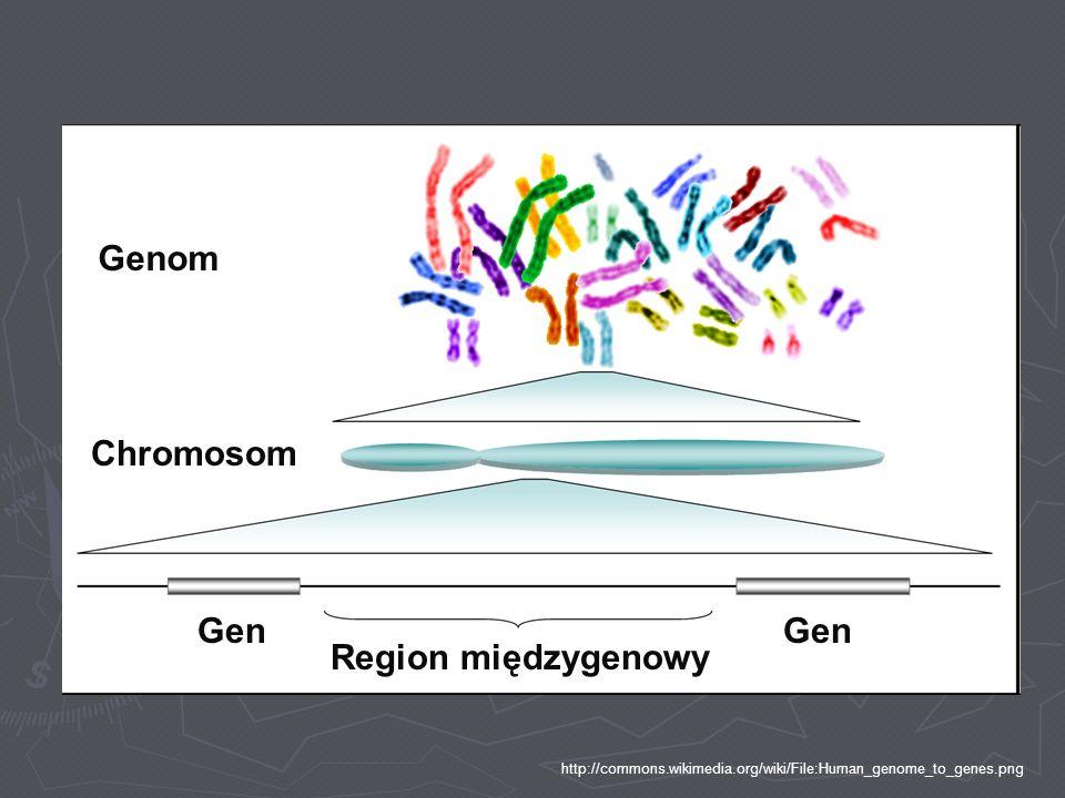 Genom Chromosom Gen Region międzygenowy http://commons.wikimedia.org/wiki/File:Human_genome_to_genes.png