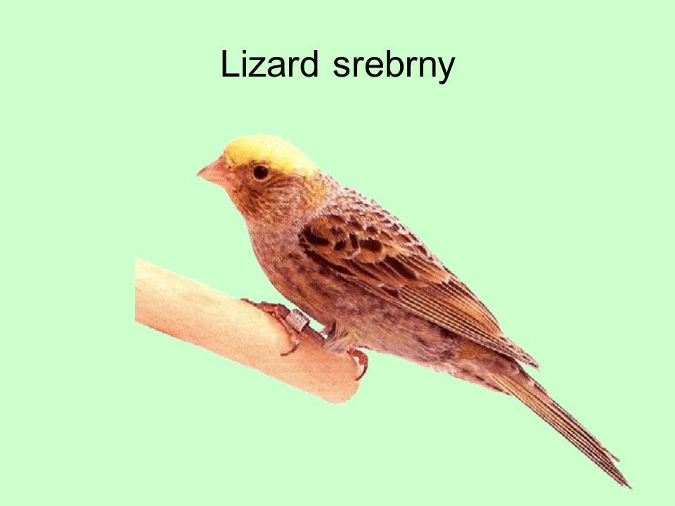 Lizard srebrny
