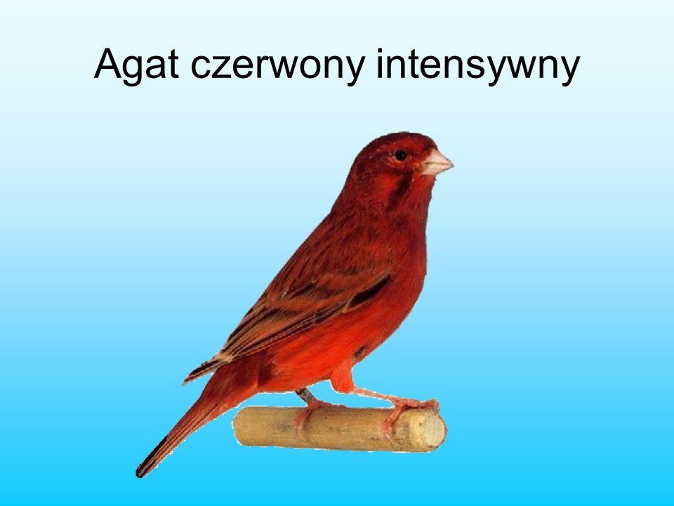 Agat czerwony intensywny