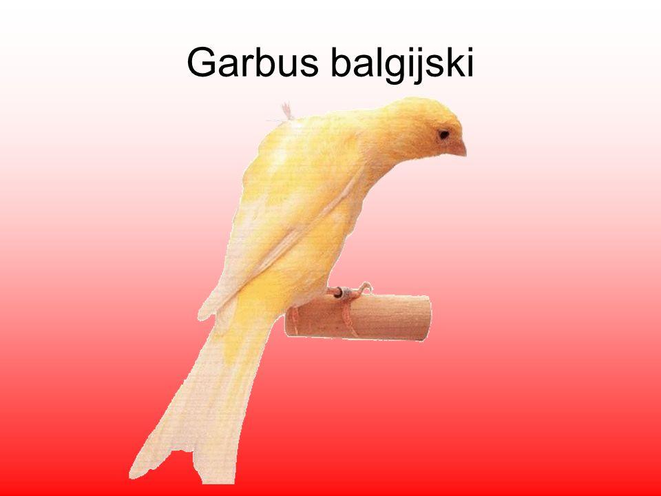 Garbus balgijski