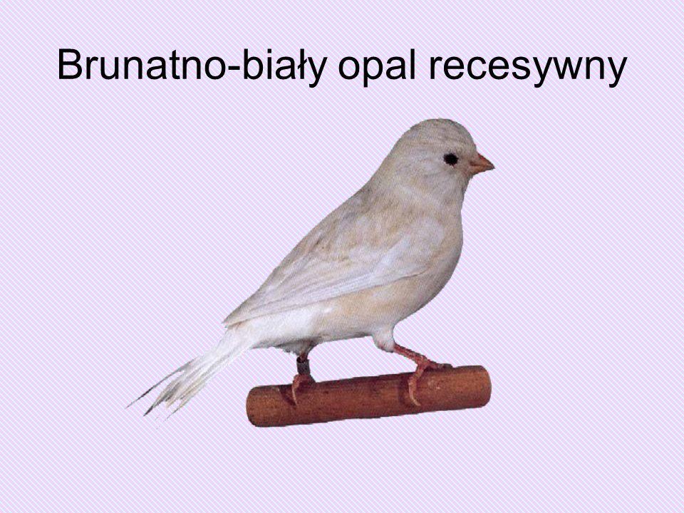 Brunatno-biały opal recesywny
