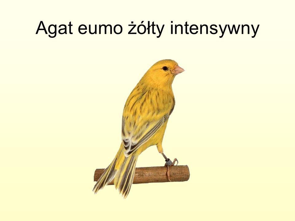 Agat eumo żółty intensywny