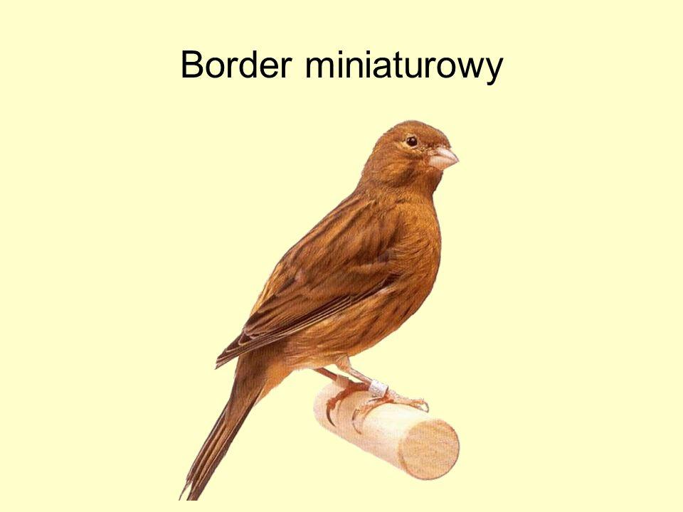 Border miniaturowy