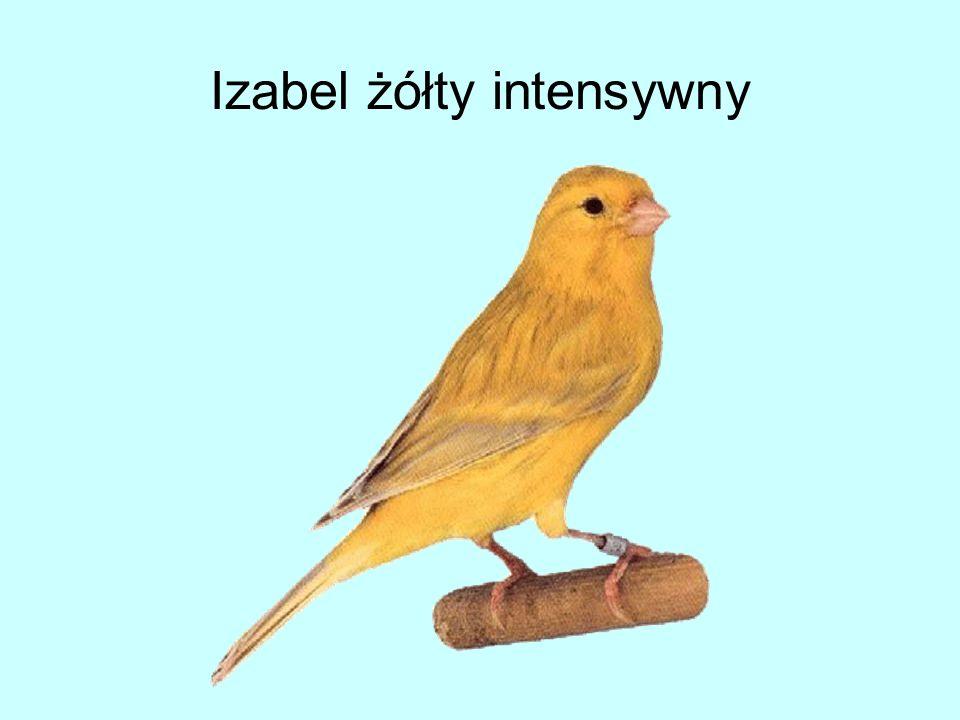 Izabel żółty intensywny