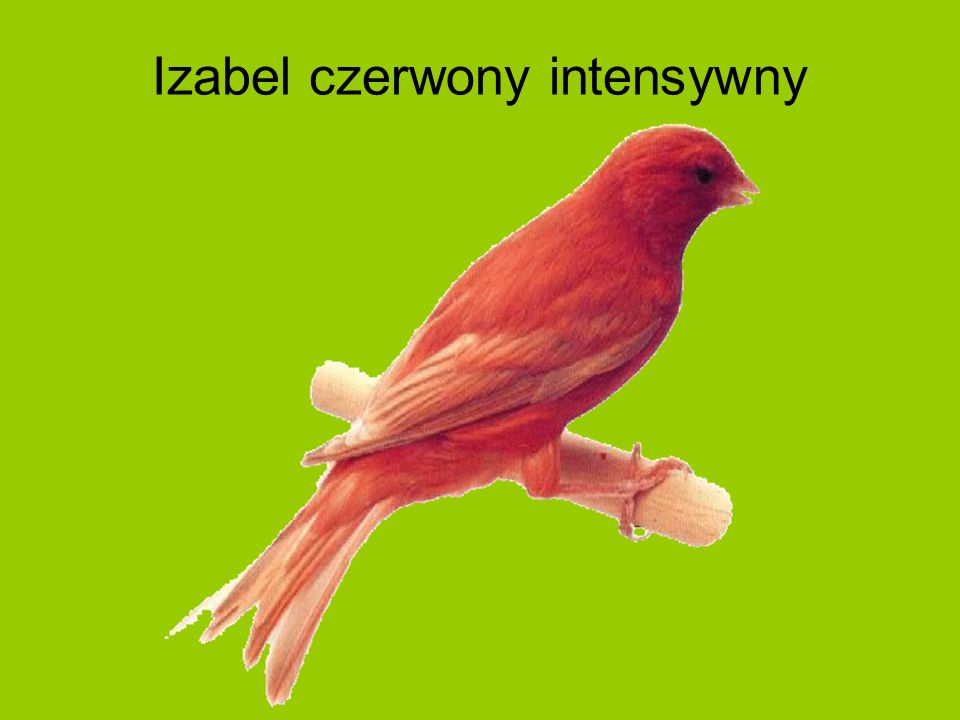 Izabel czerwony intensywny