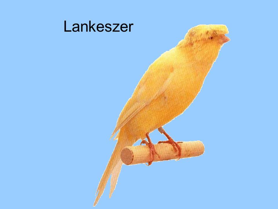 Lankeszer