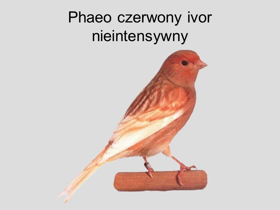 Phaeo czerwony ivor nieintensywny