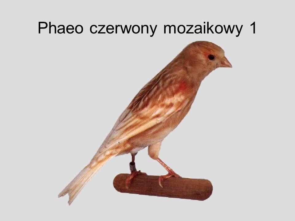 Phaeo czerwony mozaikowy 1