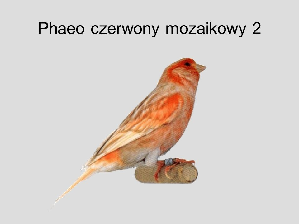 Phaeo czerwony mozaikowy 2