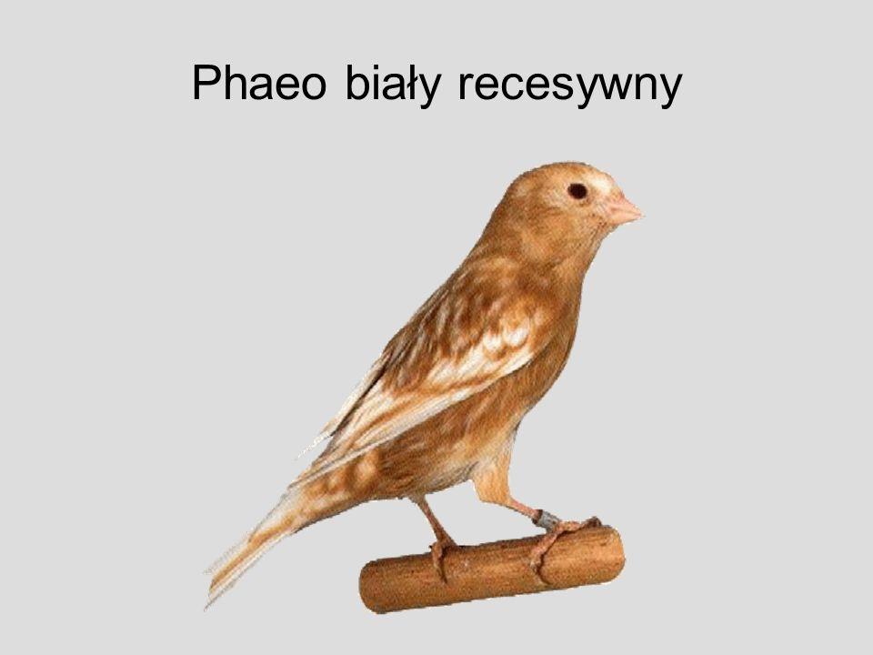 Phaeo biały recesywny