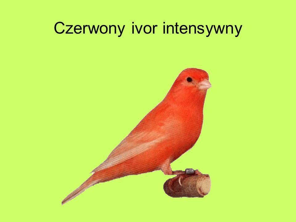 Czerwony ivor intensywny