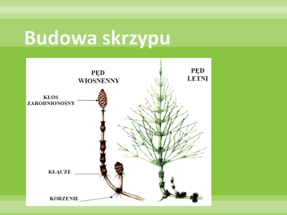 ! Wszystkie widłaki w Polsce są objęte ochroną prawną!