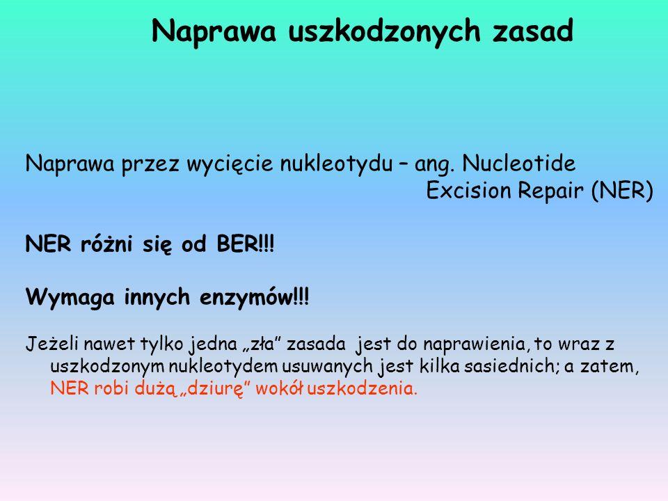 Naprawa przez wycięcie nukleotydu – ang. Nucleotide Excision Repair (NER) NER różni się od BER!!! Wymaga innych enzymów!!! Jeżeli nawet tylko jedna zł