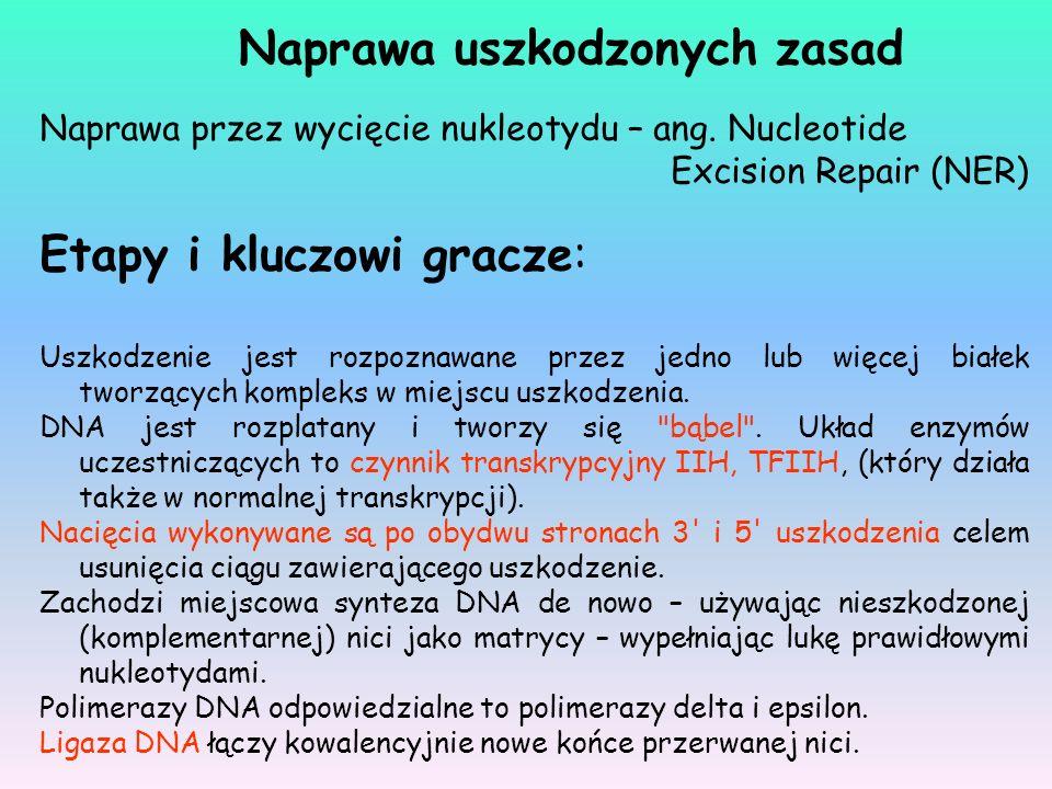 Naprawa przez wycięcie nukleotydu – ang. Nucleotide Excision Repair (NER) Etapy i kluczowi gracze: Uszkodzenie jest rozpoznawane przez jedno lub więce