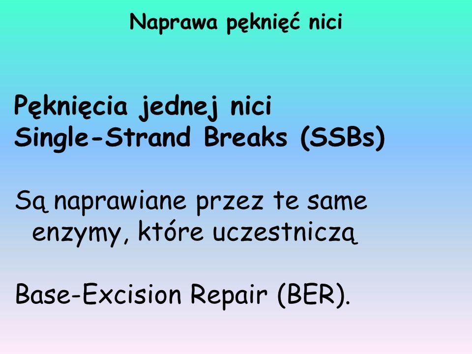 Pęknięcia jednej nici Single-Strand Breaks (SSBs) Są naprawiane przez te same enzymy, które uczestniczą Base-Excision Repair (BER). Naprawa pęknięć ni