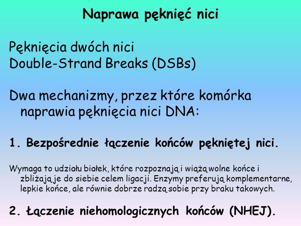 Pęknięcia dwóch nici Double-Strand Breaks (DSBs) Dwa mechanizmy, przez które komórka naprawia pęknięcia nici DNA: 1. Bezpośrednie łączenie końców pękn