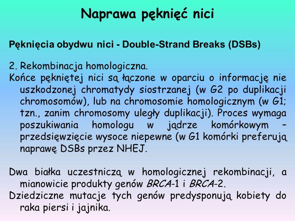 Pęknięcia obydwu nici - Double-Strand Breaks (DSBs) 2. Rekombinacja homologiczna. Końce pękniętej nici są łączone w oparciu o informację nie uszkodzon