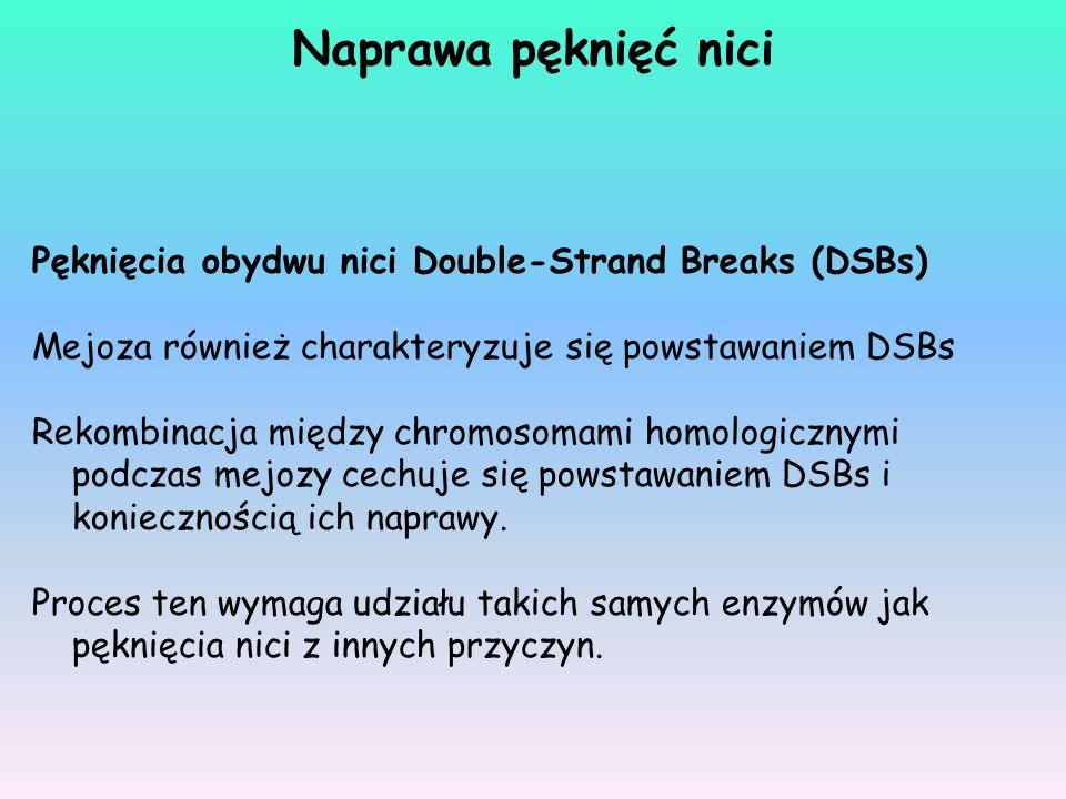 Pęknięcia obydwu nici Double-Strand Breaks (DSBs) Mejoza również charakteryzuje się powstawaniem DSBs Rekombinacja między chromosomami homologicznymi