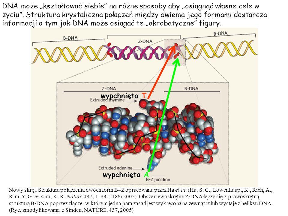 DNA może kształtować siebie na różne sposoby aby osiągnąć własne cele w życiu. Struktura krystaliczna połączeń między dwiema jego formami dostarcza in