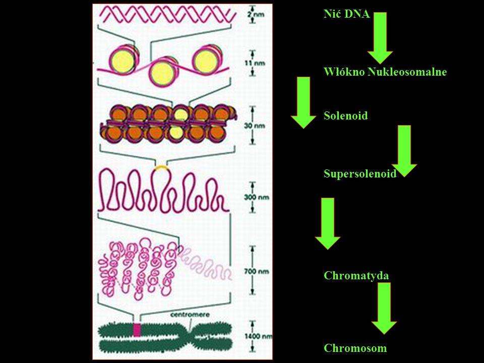 Nić DNA Włókno Nukleosomalne Solenoid Supersolenoid Chromatyda Chromosom