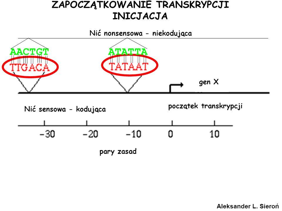 ZAPOCZĄTKOWANIE TRANSKRYPCJI INICJACJA gen X początek transkrypcji pary zasad Aleksander L. Sieroń Nić sensowa - kodująca Nić nonsensowa - niekodująca