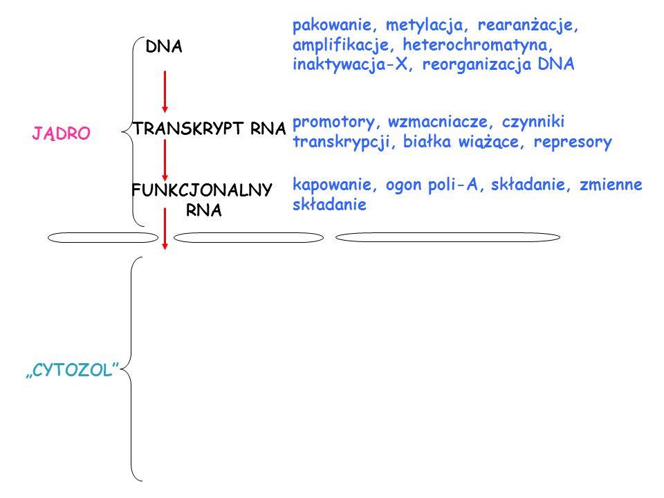 pakowanie, metylacja, rearanżacje, amplifikacje, heterochromatyna, inaktywacja-X, reorganizacja DNA TRANSKRYPT RNA FUNKCJONALNY RNA promotory, wzmacni