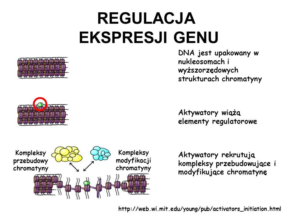 DNA jest upakowany w nukleosomach i wyższorzędowych strukturach chromatyny Aktywatory wiążą elementy regulatorowe Kompleksy przebudowy chromatyny Komp