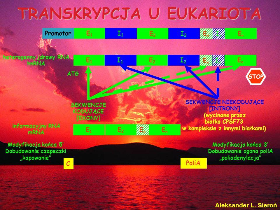 Promotor E1E1 I1I1 E2E2 I2I2 EnEn ExEx IxIx TRANSKRYPCJA U EUKARIOTA ATG SEKWENCJE KODUJĄCE [EXONY] SEKWENCJE NIEKODUJĄCE [INTRONY] STOP E1E1 I1I1 E2E