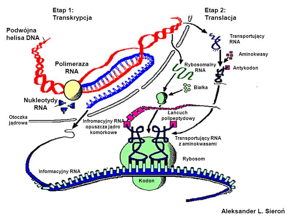 Etap 1: Transkrypcja Etap 2: Translacja Podwójna helisa DNA Polimeraza RNA Nukleotydy RNA Transportujący RNA Aminokwasy Rybosomalny RNA Antykodon Biał
