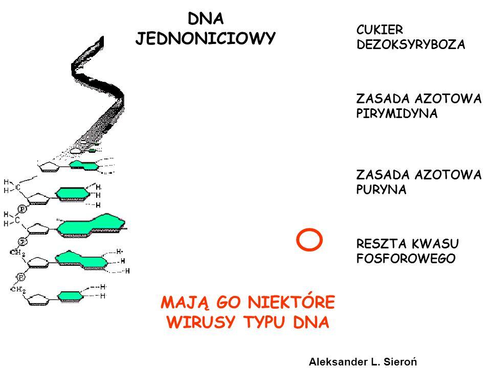 CUKIER DEZOKSYRYBOZA ZASADA AZOTOWA PIRYMIDYNA ZASADA AZOTOWA PURYNA RESZTA KWASU FOSFOROWEGO DNA JEDNONICIOWY MAJĄ GO NIEKTÓRE WIRUSY TYPU DNA Aleksa