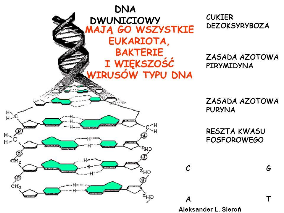 CUKIER RYBOZA ZASADA AZOTOWA PIRYMIDYNA ZASADA AZOTOWA PURYNA RESZTA KWASU FOSFOROWEGO RNA JEDNONICIOWY MAJĄ GO WIRUSY TYPU RNA (RETROWIRUSY) URACYL ZA TYMINĘ Aleksander L.