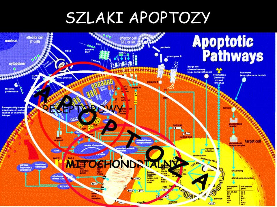 SZLAKI APOPTOZY RECEPTOROWY MITOCHONDRIALNY A P O P T O Z A