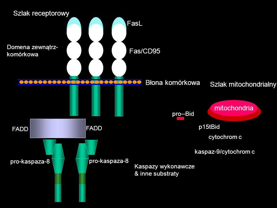 FasL Domena zewnątrz- komórkowa pro-kaspaza-8 pro--Bid cytochrom c kaspaz-9/cytochrom c Kaspazy wykonawcze & inne substraty mitochondria p15tBid Fas/C