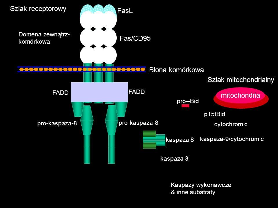 Kaspazy wykonawcze & inne substraty kaspaza 3 pro-kaspaza-8 pro--Bid kaspaza 8 cytochrom c kaspaza-9/cytochrom c mitochondria p15tBid Domena zewnątrz-