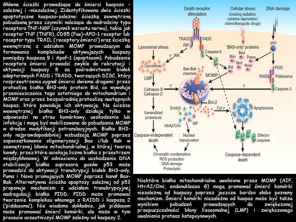 Główne ścieżki prowadzące do śmierci kaspozo - zależnej i –niezależnej. Zidentyfikowano dwie ścieżki apoptotyczne kaspazo-zależne: ścieżkę zewnętrzną