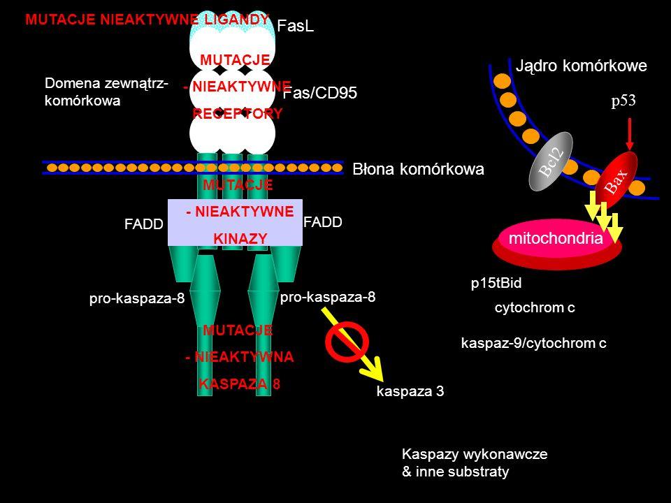 pro-kaspaza-8 Domena zewnątrz- komórkowa FasL Fas/CD95 Błona komórkowa FADD Jądro komórkowe Bcl2 MUTACJE - NIEAKTYWNA KASPAZA 8 Kaspazy wykonawcze & i