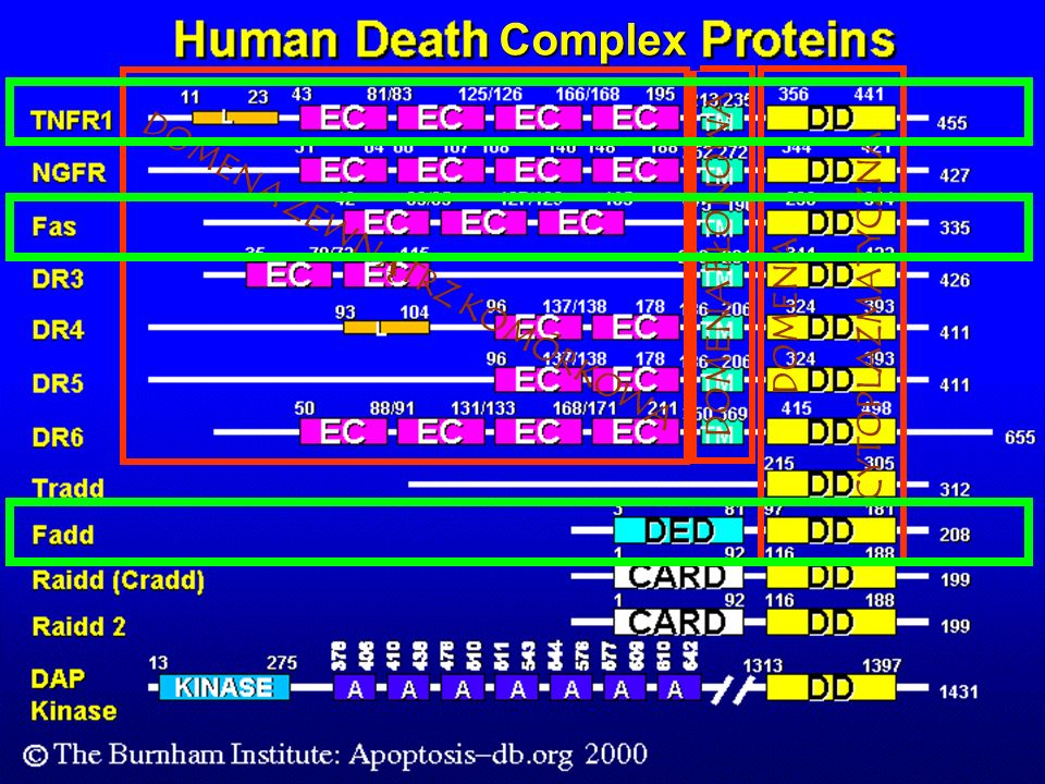 pro-kaspaza-8 Domena zewnątrz- komórkowa FasL Fas/CD95 Błona komórkowa FADD Jądro komórkowe Bcl2 MUTACJE NIEAKTYWNA KASPAZA 8 mitochondria p53 Bax MUTACJE !!!PRZEMIANA NOWOTWOROWA!!.