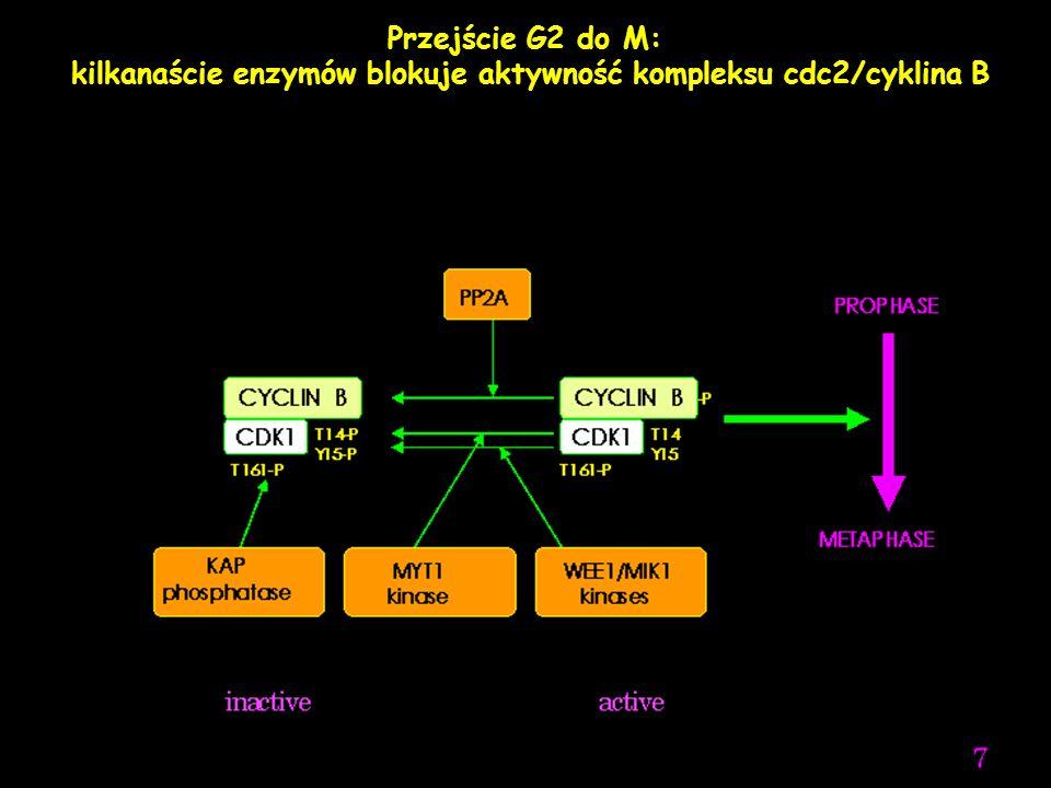Przejście G2 do M: Po uszkodzeniu DNA komórka jest aresztowna w G2 przez blokowanie aktywności cdc25