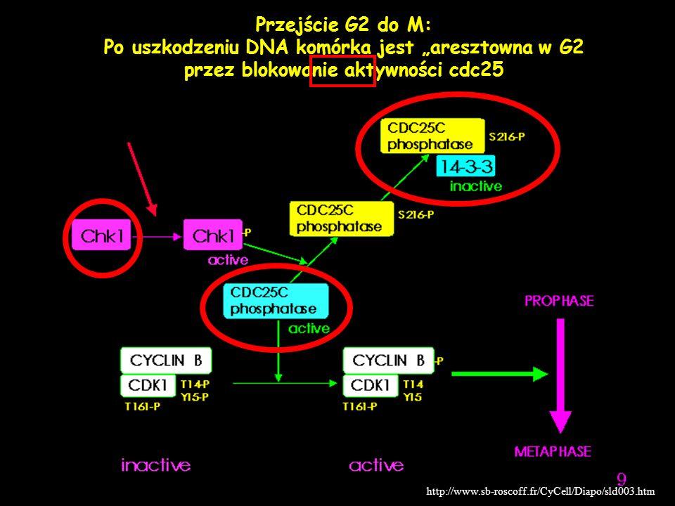 Mejoza I Klug & Cummings, 2000 Profaza I Telofaza I Anafaza I Metafaza I