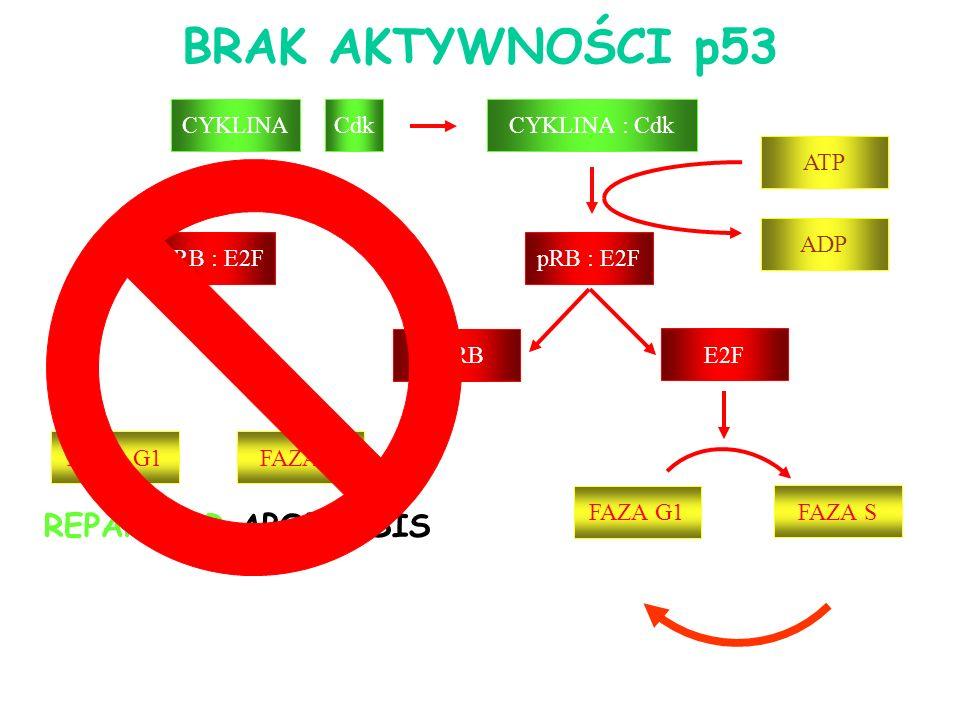 CYKLINA : Cdk pRB : E2F ppRB E2F ATP pRB : E2F ADP FAZA G1 FAZA S CYKLINACdk FAZA G1FAZA S REPARE OR APOPTOSIS BRAK AKTYWNOŚCI p53