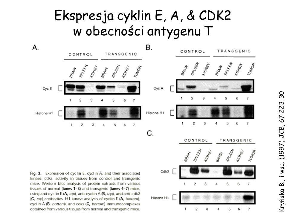 Kryńska B., i wsp. (1997) JCB, 67:223-30 Ekspresja cyklin E, A, & CDK2 w obecności antygenu T