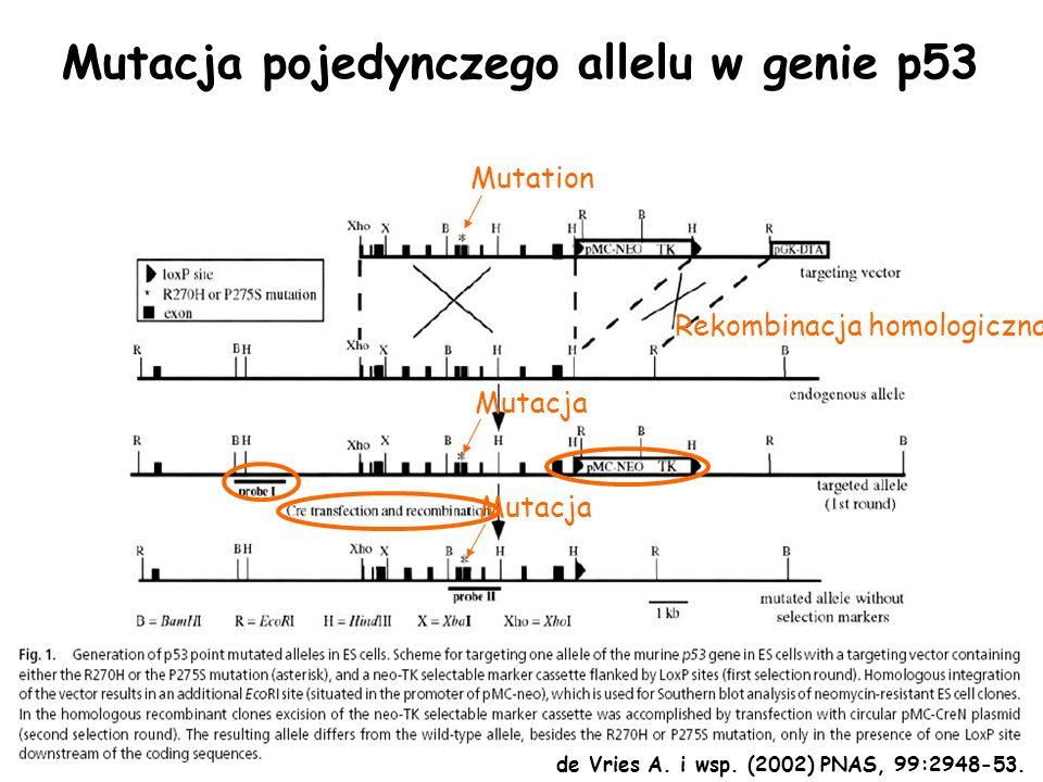 Mutation Mutacja Rekombinacja homologiczna Mutacja pojedynczego allelu w genie p53 de Vries A. i wsp. (2002) PNAS, 99:2948-53.