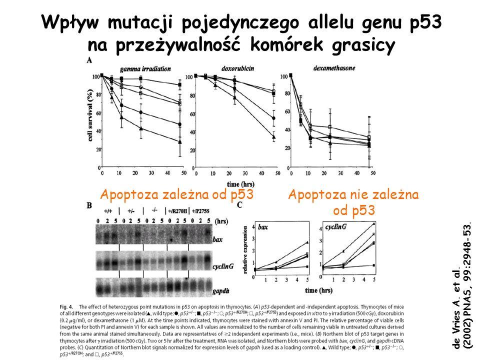 Apoptoza zależna od p53Apoptoza nie zależna od p53 Wpływ mutacji pojedynczego allelu genu p53 na przeżywalność komórek grasicy de Vries A. et al. (200