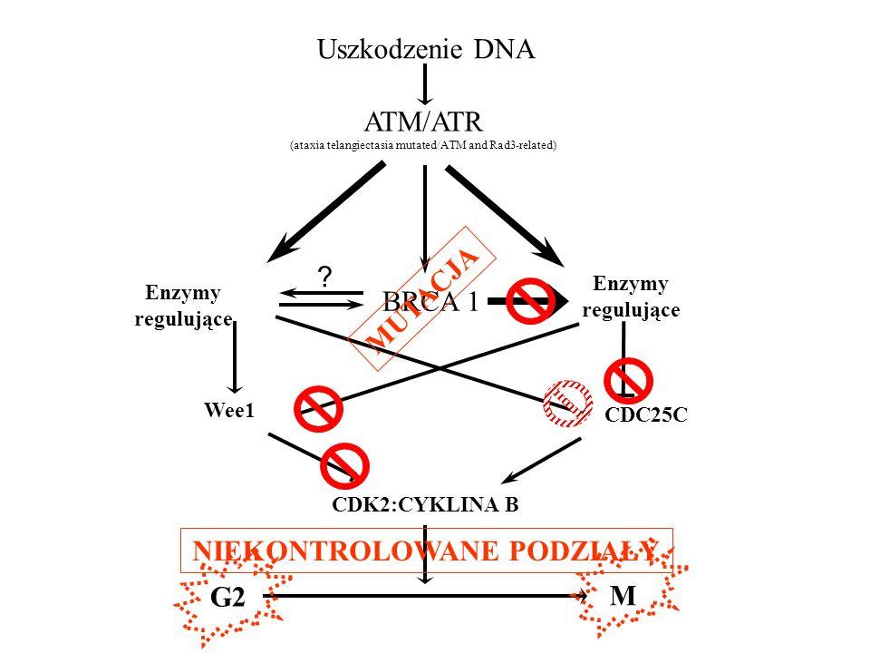? Uszkodzenie DNA ATM/ATR (ataxia telangiectasia mutated/ATM and Rad3-related) BRCA 1 Enzymy regulujące Enzymy regulujące CDC25C CDK2:CYKLINA B Wee1 G
